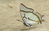 Lepidoptera Order