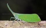 Hemiptera Order
