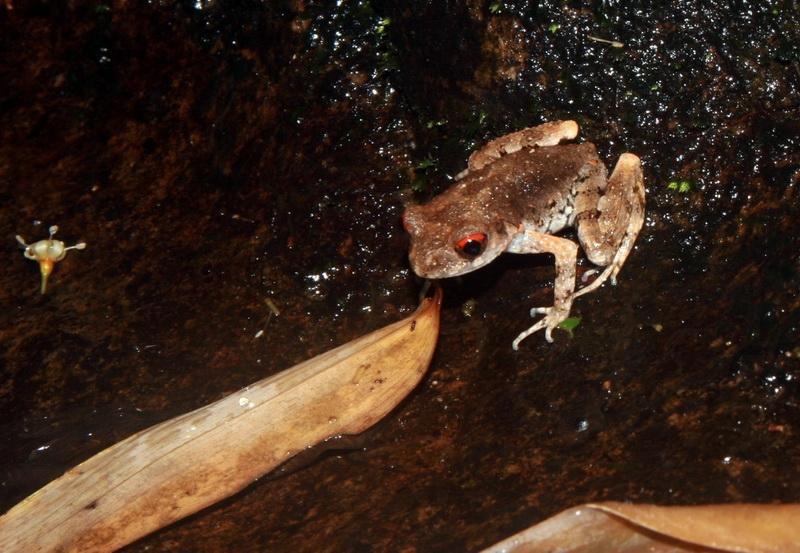 อึ่งกรายท้องลาย (Leptolalax melanoleucus) แม้เสียงน้อยกว่าปกติ แต่ก็ยังเจอตัว