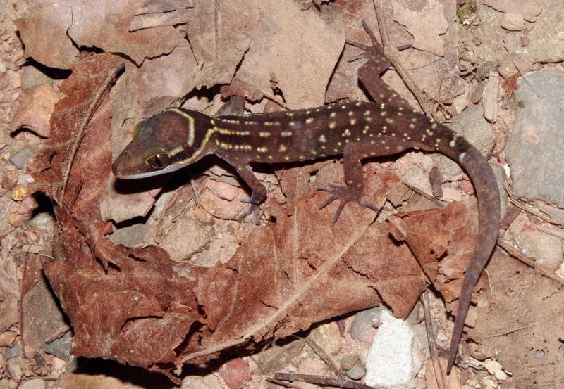 ตุ๊กกายคอขวั้น (Cyrtodactylus oldhami) มาปิดทริปให้