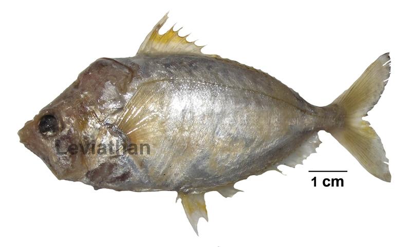 ปลาแป้นเล็ก