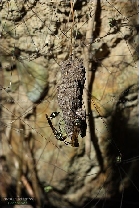 แตน หลายต่อหลายรัง ทำรังอยู่ใต้ชะง่อนดิน อยู่ปนกับแมงโหย่งเป็นพันตัว
