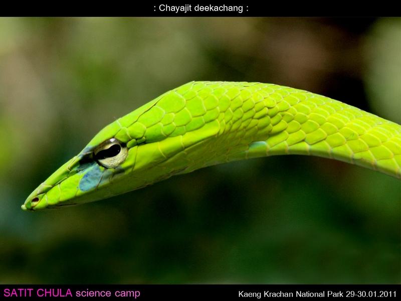 งูเขียวหัวจิ้งจก Ahaetulla prasina