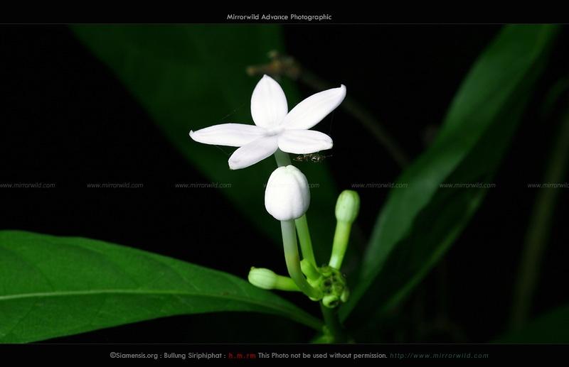 เข็มป่าดอกขาว