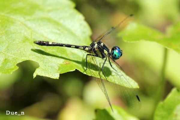 แมลงปอบ้านสี่แต้มเหลือง Tetrathemis platyptera