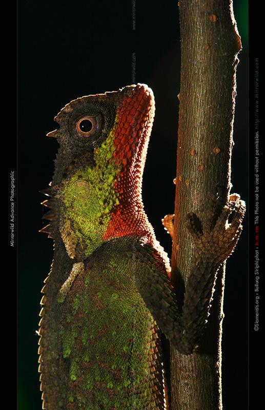 กิ้งก่าเขาหนามเล็ก, กิ้งก่าปากแดง, กิ้งก่าทาลิป Acanthosaura lepidogaster ในเพศผู้จะทาปากแดงเถือกแบบนี้