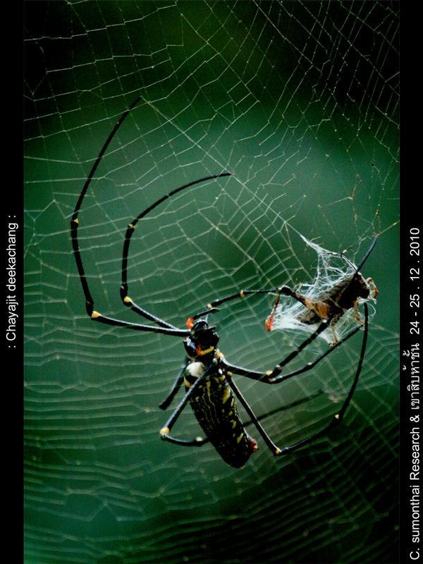 เพิ่งเคยเห็นแมงมุมใยทอง ที่ใยทองสมชื่อก็คราวนี้