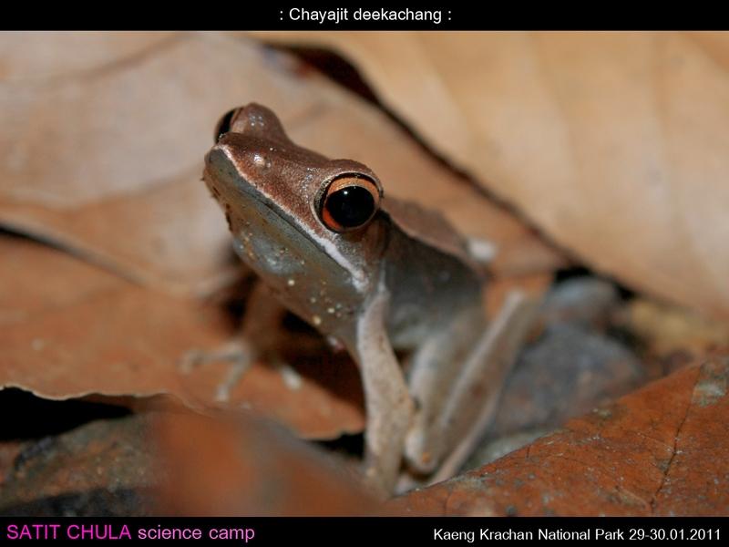 กบเขาสูง Clinotarsus alticola