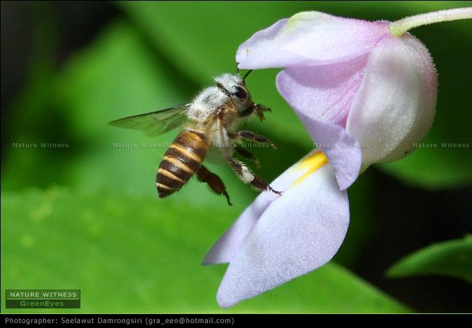 ผึ้ง ด้านบนอกมีขนขาวๆ หากินกับดอกเทียบบริเวณนั้น มีอีกสองชนิดแต่ถ่ายไม่ได้