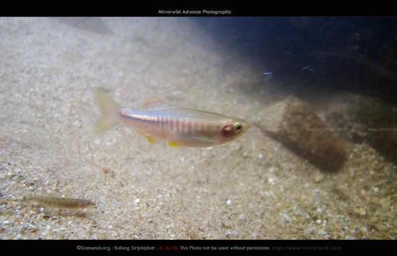 ปลาซิวใบไผ่แม่แตง Devario maetangensis แบบจิตวิญญาณ