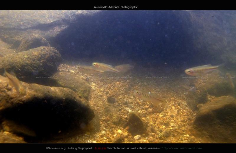 ปลาซิวใบไผ่แม่แตง Devario maetangensis อยู่รวมฝูงกันแบบนี้