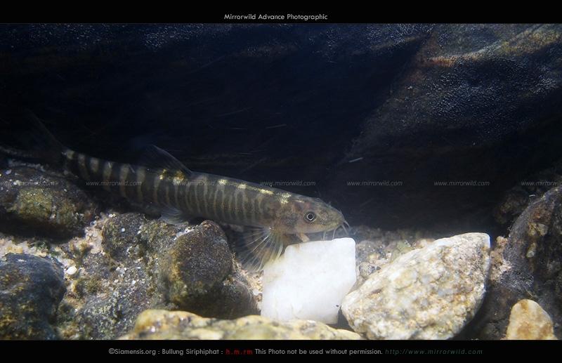 ปลาค้อซี่กรงหลังทอง Schistura poculi