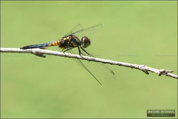 แมลงปอบ้านยอดฟ้า Aethriamanta aethra