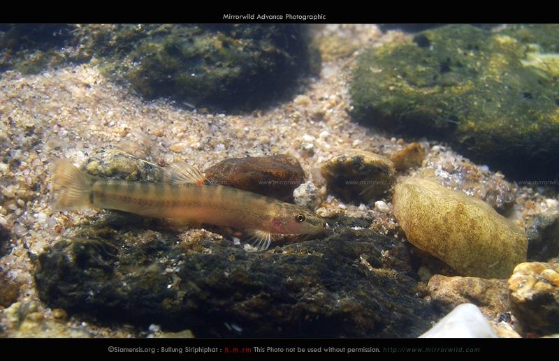 ปลาค้อวาลตัน Schistura waltoni