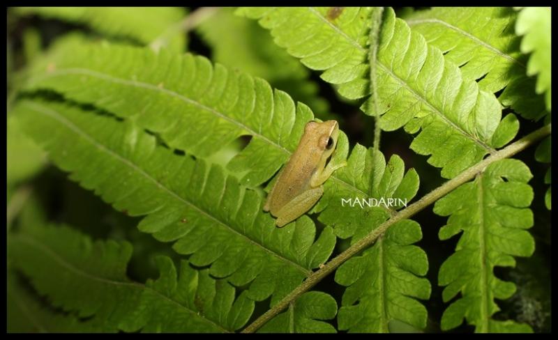 ปาดจิ๋วหลังขีด Chiromantis doriae (Boulenger, 1893)
