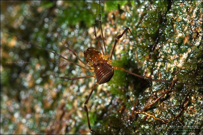 แมงโหย่ง พบทั้งในและนอกถ้ำ