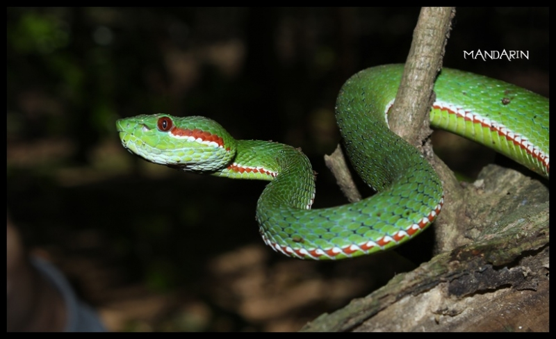 Pope's Green Pitviper