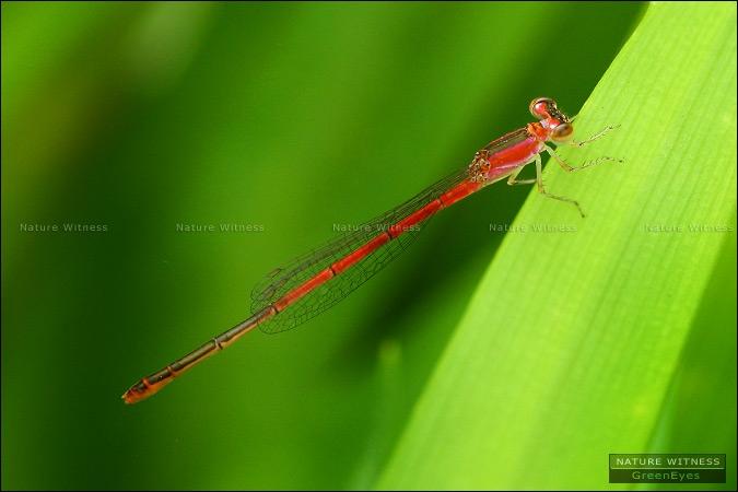 Agriocnemis femina ตัวเมีย