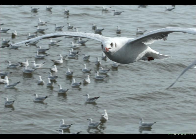 นกนางนวล ยังคงอยู่เหมือนเดิม