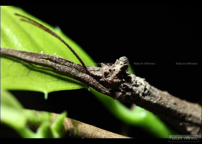 แมลงกิ่งไม้ 3 (ภาพเต็มตัวเบลอซะงั้น)