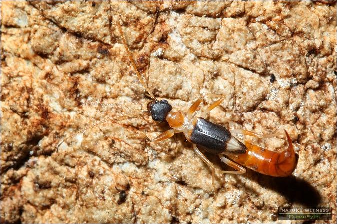 แมลงหางหนีบ เดินวนเวียนอยู่ในถ้ำ