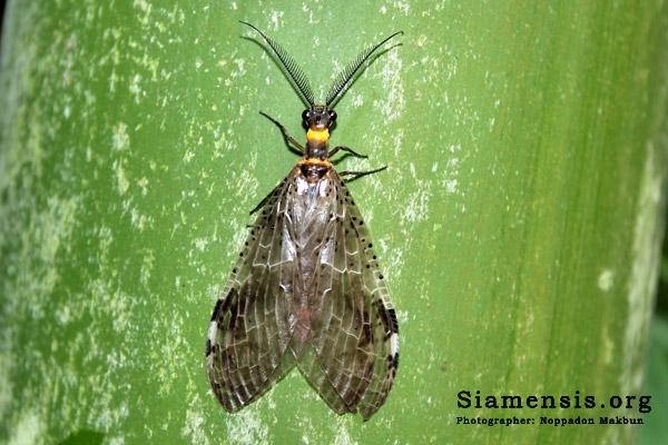 แมลงช้างหัวงู (snakefly)