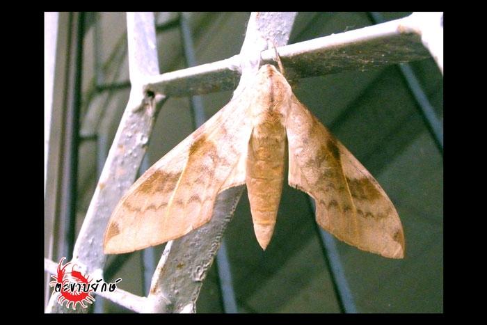 09.jpg ผีเสื้อจรวด Clanis undulosa gigantia
