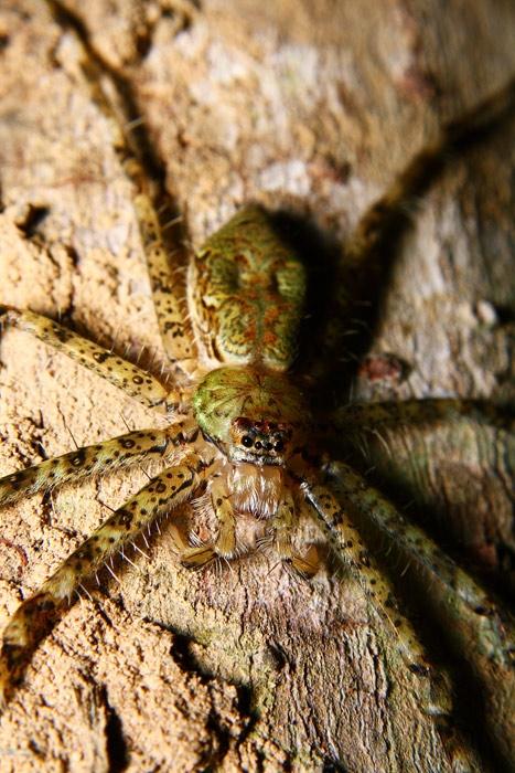 Pandercetes sp. (Lichen spider) วงศ์ Sparassidae