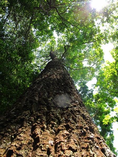 ต้นไม้ต้นใหญ๋ใหญ่