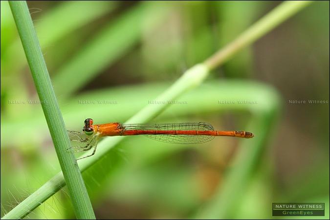 Agriocnemis pygmaea ใ่ช่ไหม