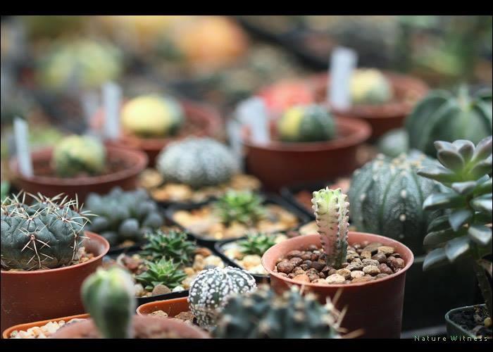 ต้นแคคตัส Cactus คืออะไร