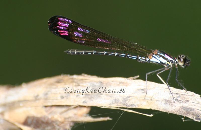 แมลงปอเข็มน้ำตกสั้นวงม่วง ตัวผู้