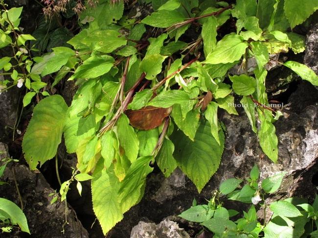 Boesenbergia sp ที่ปีหน้าต้องตาม