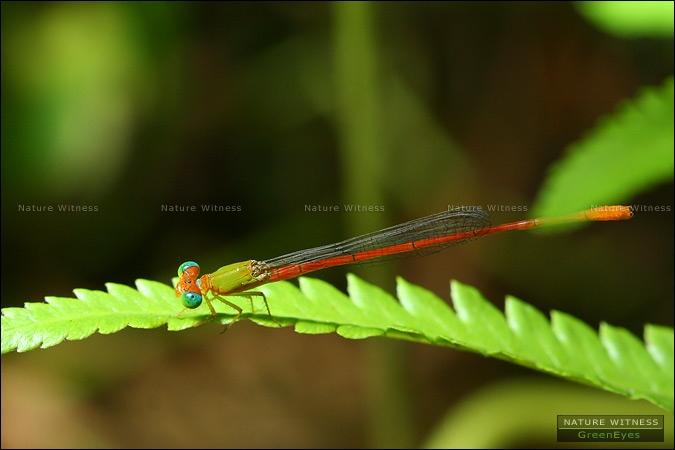 แมลงปอเข็มเขียวแดง