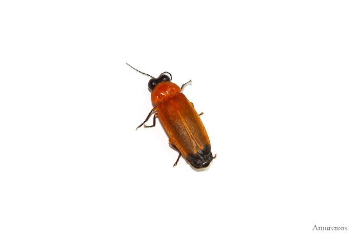 Firefly บน