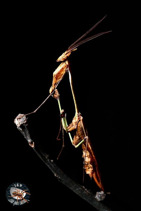 เจ้า Violin mantis นั่นเอง เหมือนใบไม้แห้งมากๆ เวลาเกาะส่ายตัวคล้ายใบไม้โดนลมพัดซะด้วย