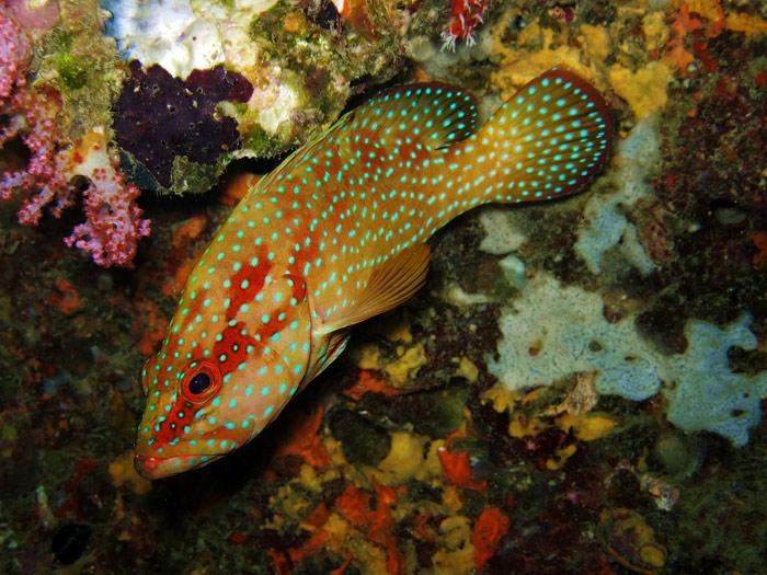 ปลากะรังแดงจุดน้ำเงิน Cephalopholis miniata
