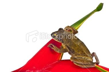 17718039-17718039-tree-frog.jpg