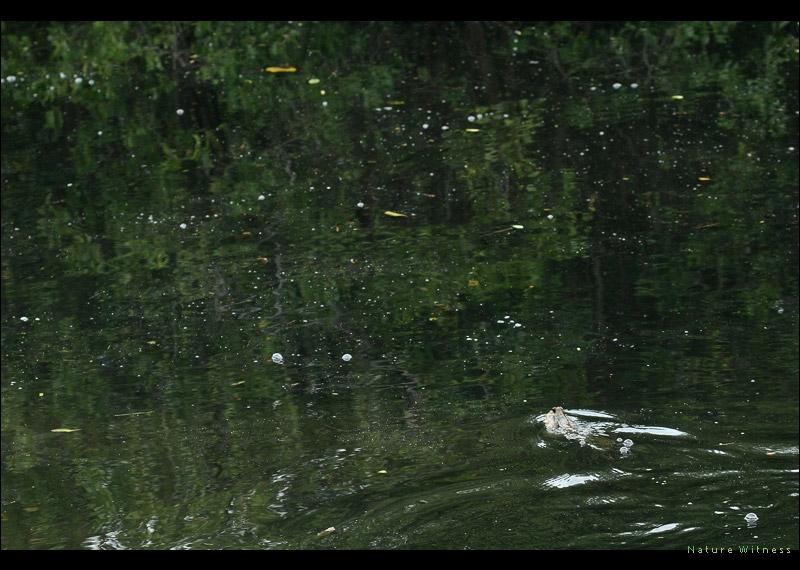 ปลาจุ่มพรวดที่เหลืออยู่ พุ่งตัวหนีขณะเดินผ่าน ว่ายอยู่ในน้ำที่ดำสนิท