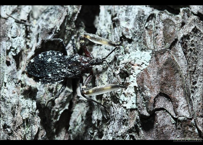 Amulius sp