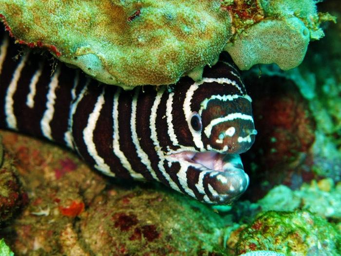 ปลาไหลม้าลาย Gymnomuraena zebra