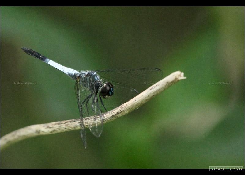 Brachydiplax farinose แมลงปอบ้านสีตะกั่วขนขาว