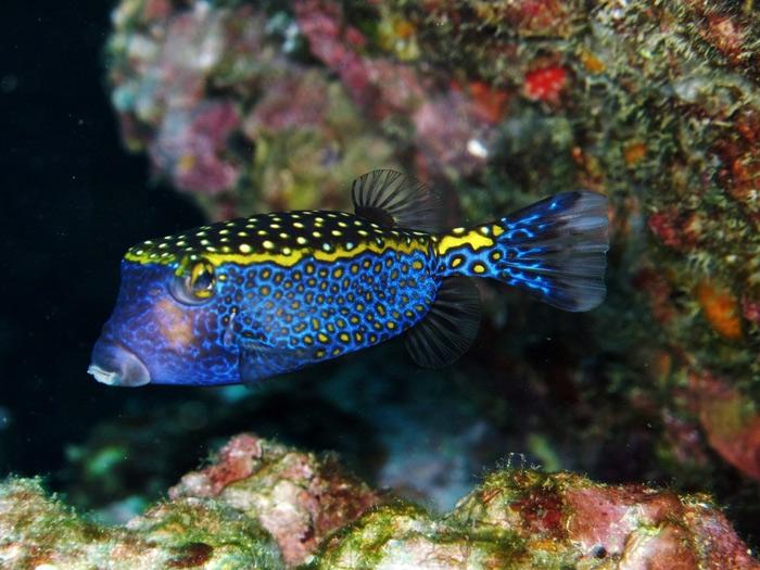 ปลากล่องจุดเหลือง Ostracion meleagris