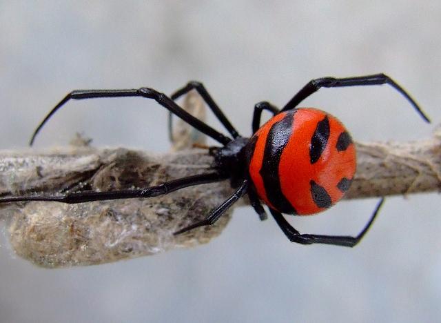 แมงมุมแม่ม่ายสกุล Latrodectus ชนิดที่พบในต่างประเทศมีสีีสันคล้ายกับที่พบในประเทศไทย