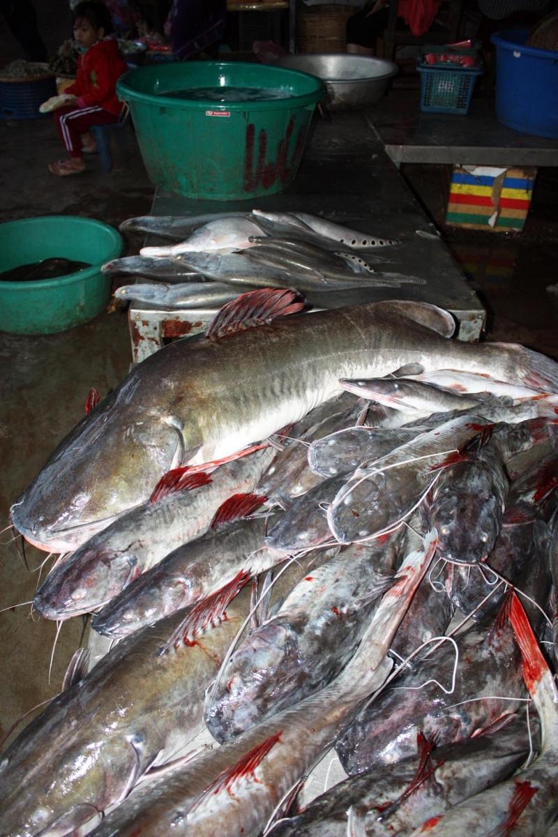 ปลาคังตัวเอ้บ