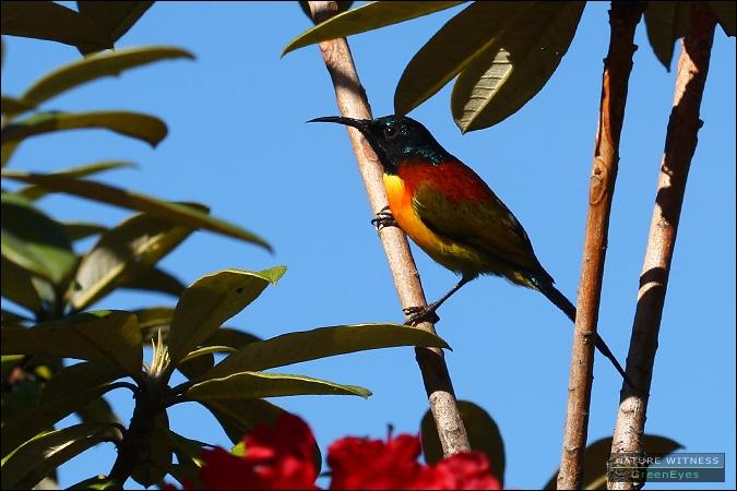 นกกินปลีหางยาวเขียว ระยะประชิด เชื่องเว่อ