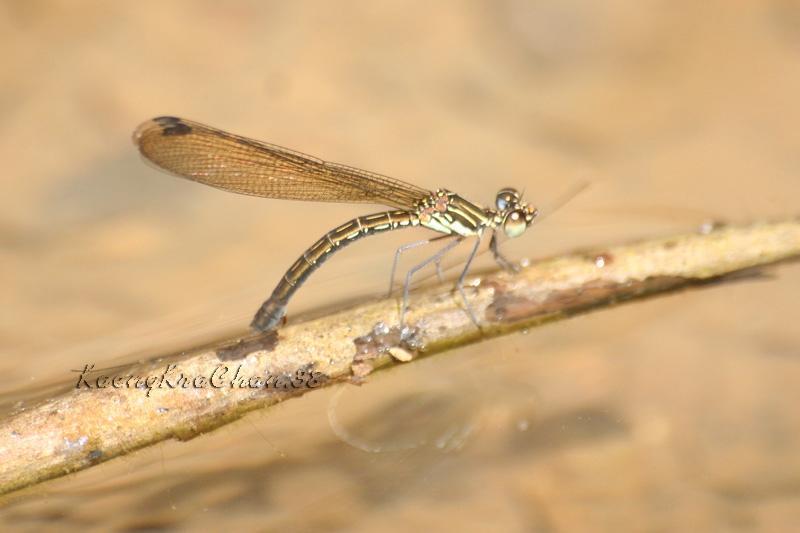 แมลงปอเข็มน้ำตกสั้นวงม่วง ตัวเมีย