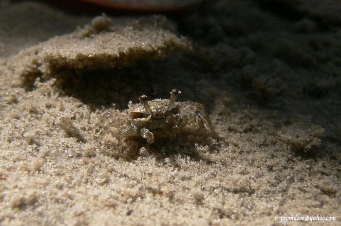 ลูกปูก้ามดาบ ตอนแรกที่ถ่ายคิดว่าเป็นปูปั้นทราย แต่สังเกตดีๆกลายเป็นดูผิด