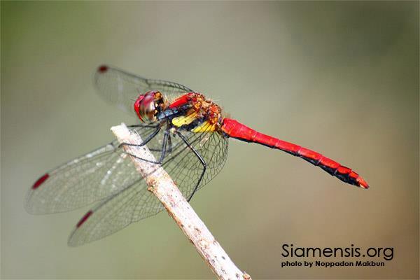 แมลงปอบ้านดอยท้องแดง