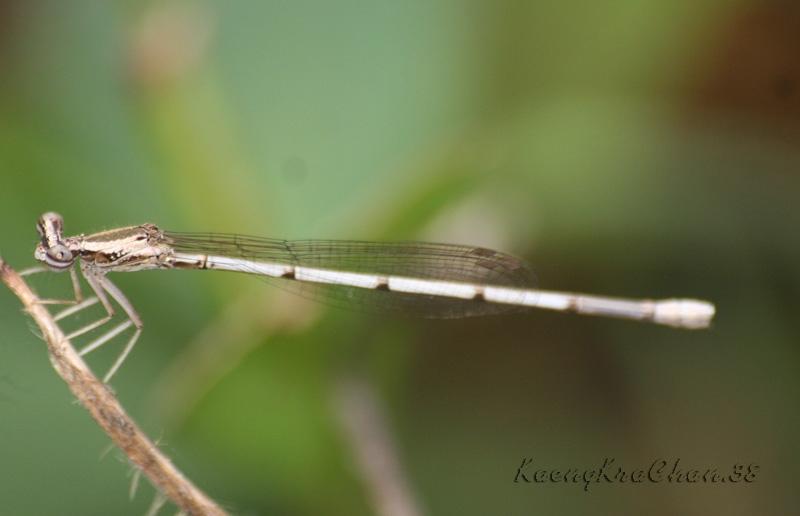 น่าจะอยู่ในกลุ่ม Copera หรือจะเป็นตัวเมียของแมลงปอเข็มยาวปลายเด่น